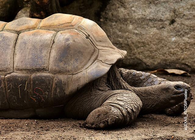 Foto de un reptil grande que muestra lo que significa soñar con tortugas