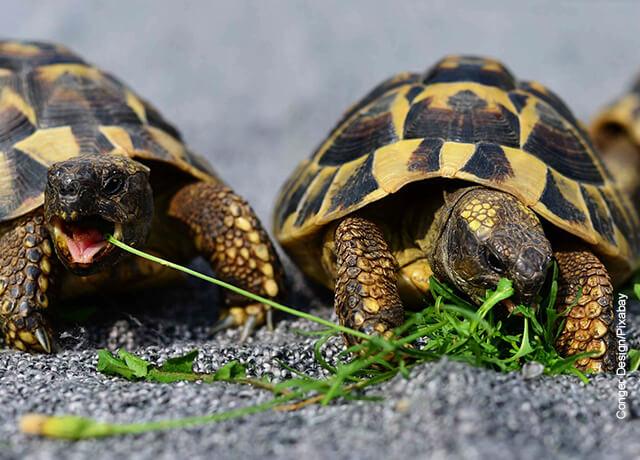 Foto de dos tortugas comiendo pasto