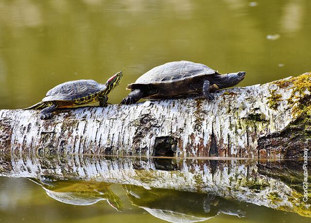 Foto de dos tortugas caminando por un árbol