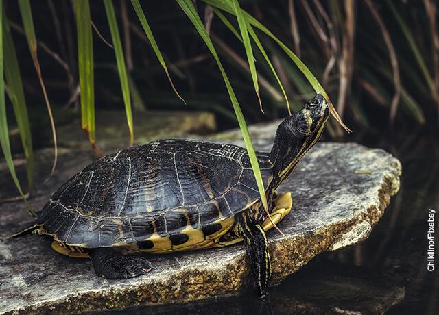 Foto de una tortuga negra sobre una roca