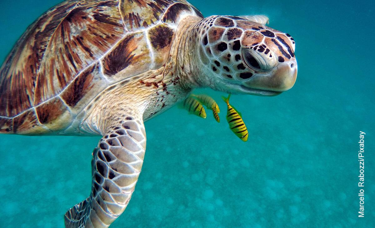 Foto de un reptil nadando que ilustra lo que es soñar con tortugas