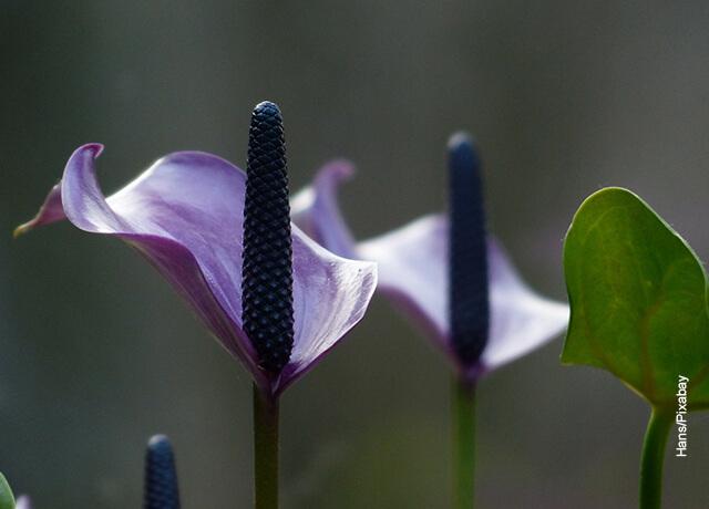 Foto de una flor Spathiphyllum