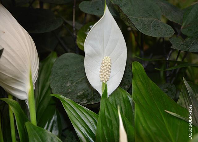 Foto de una planta lirio del valle en un jardín