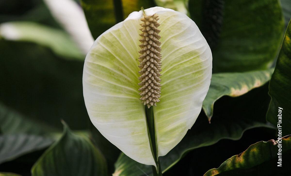 Foto de una planta que muestra el spathiphyllum y sus cuidados