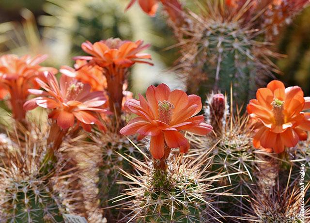 Foto de las flores naciendo en un cactus