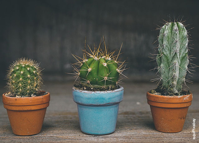 Foto de tres plantas del desierto en macetas