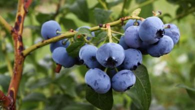 Cómo cultivar arándanos en casa y disfrutar de este fruto