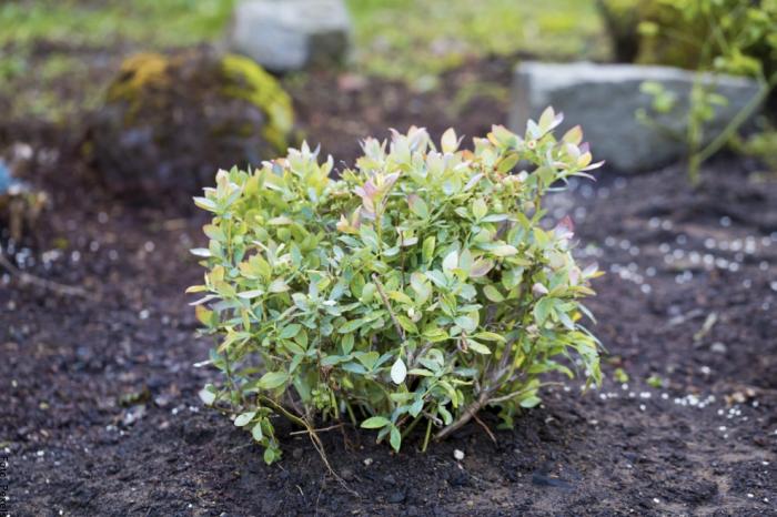 Foto de una pequeña planta de arándanos