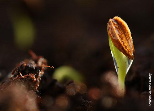Foto de una semilla germinando que ilustra cómo cultivar champiñones