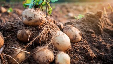 ¿Cómo cultivar papas en casa?