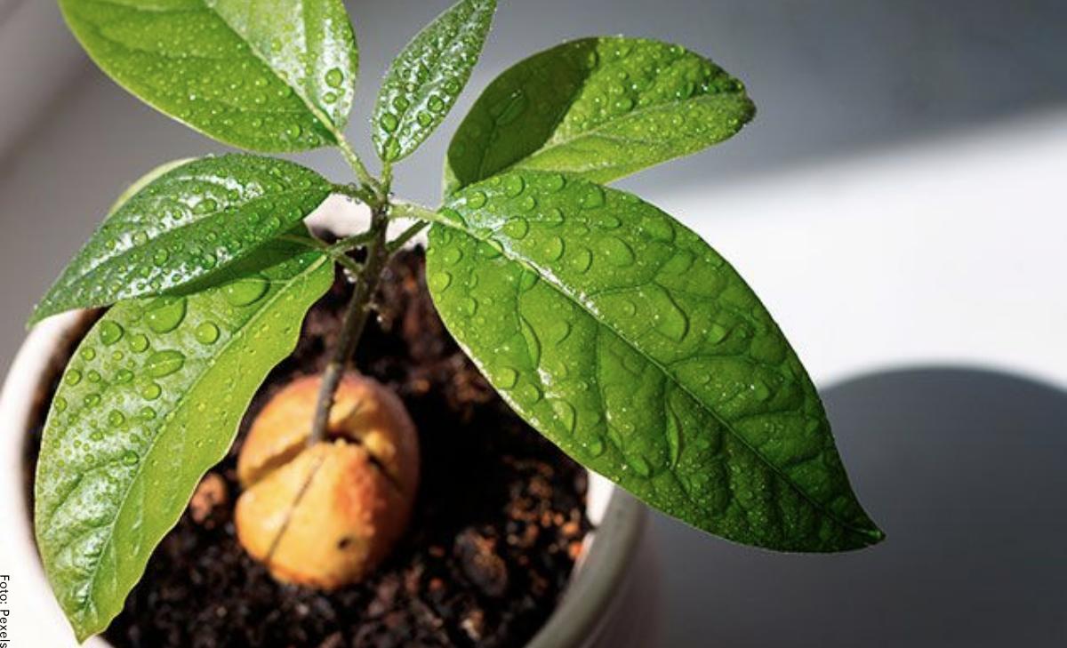 ¿Cómo sembrar aguacate en casa?