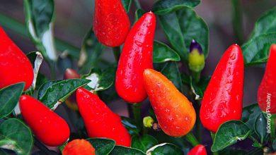 Foto de una planta de chiles que muestra cómo sembrar ají