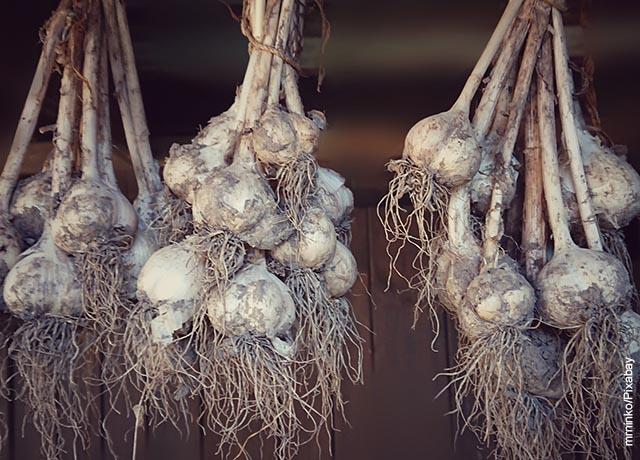 Foto de varios atados de ajo sacados de la tierra