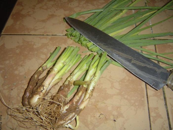 Foto de las raíces de la cebolla
