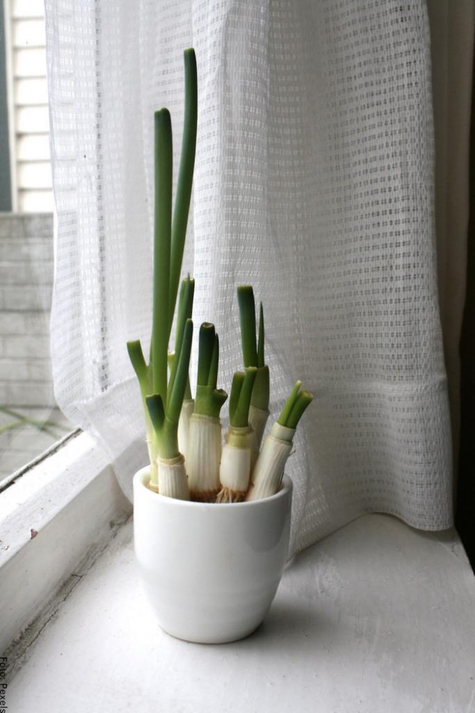 Foto de la planta de cebolla en una maceta cerca a la luz