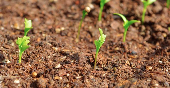 Foto de las primeras plantas de cilantro