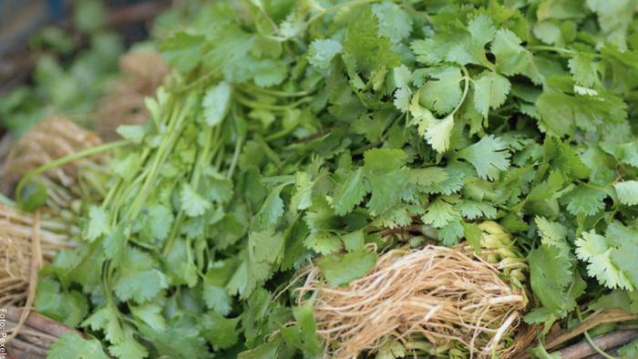 Foto de cosecha de cilantro