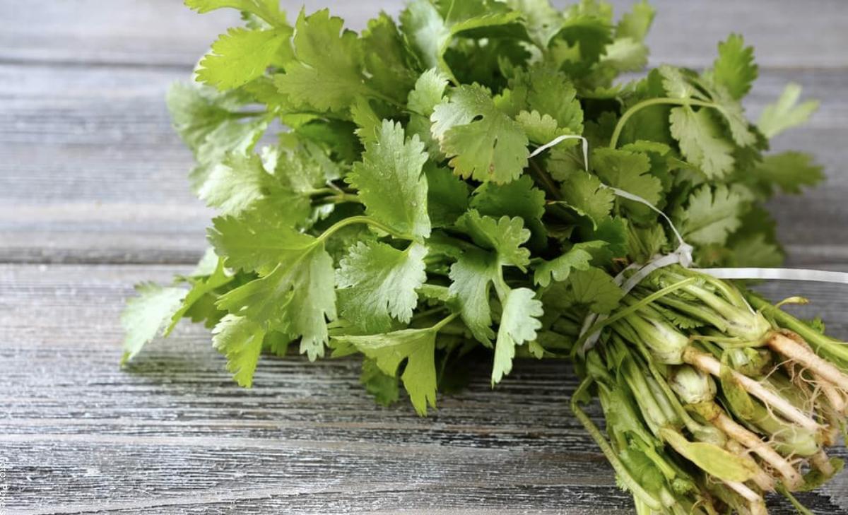 Cómo sembrar cilantro en casa para aprovecharlo en tu cocina