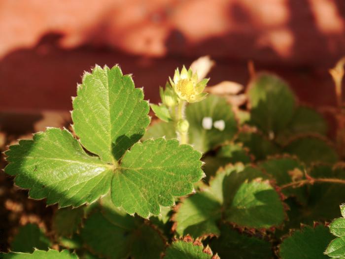 Foto de una planta de fresa