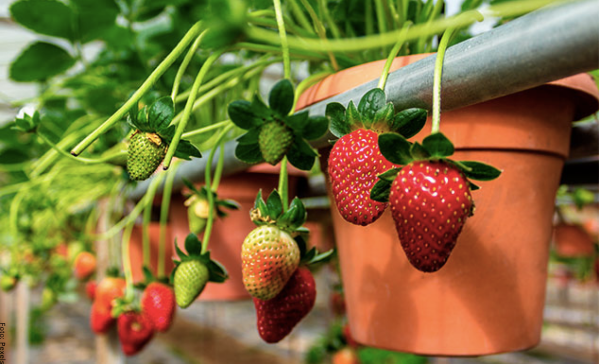 Cómo sembrar fresas, ¡crea tu huerta con la fruta del amor!