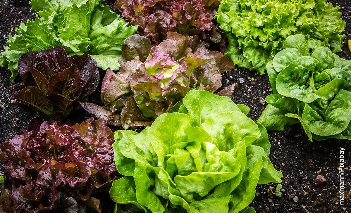Foto de vegetales sembrados en la tierra que muestran cómo sembrar lechuga
