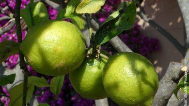 Foto de una rama de árbol con limones