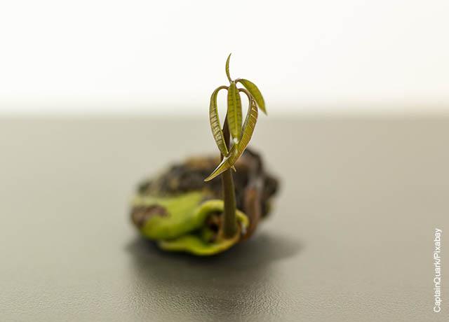 Foto de una semilla germinada