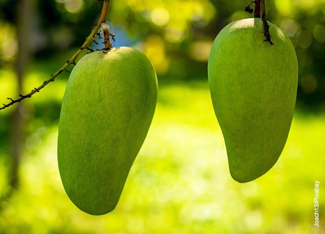 Foto de dos mangos colgados a una rama