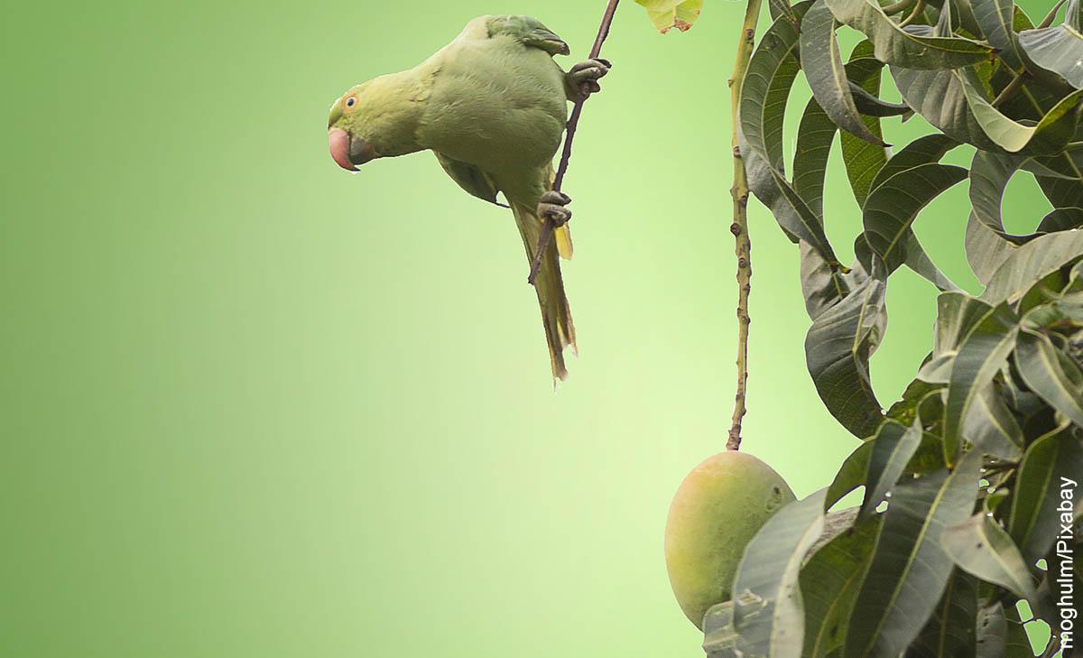 Foto de un loro sobre una planta de mango que muestra cómo sembrar mango