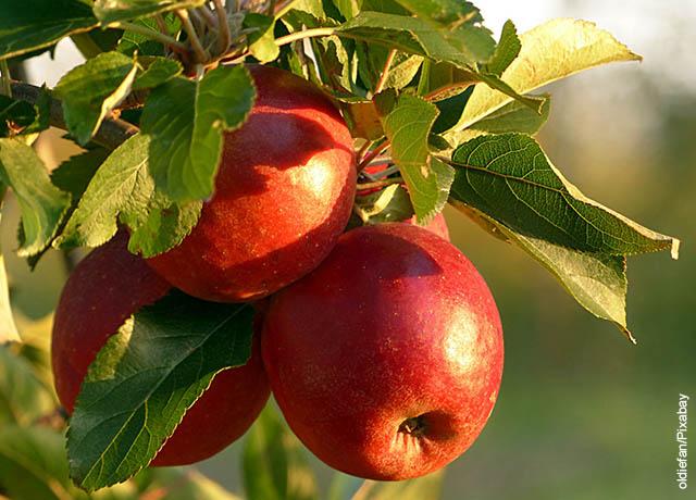 Foto de varias manzanas sujetadas a una rama