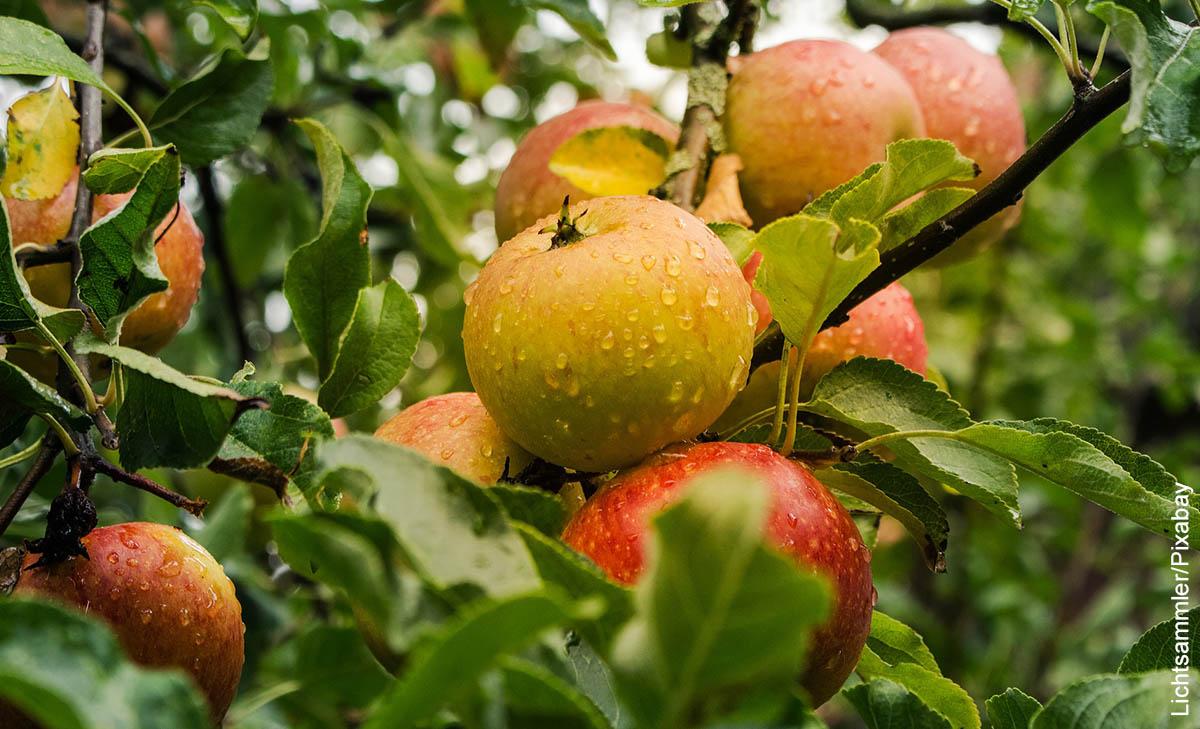Foto de un manzano que ilustra cómo sembrar manzanas