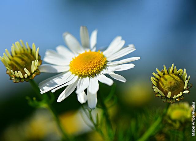 Foto de flores de manzanilla