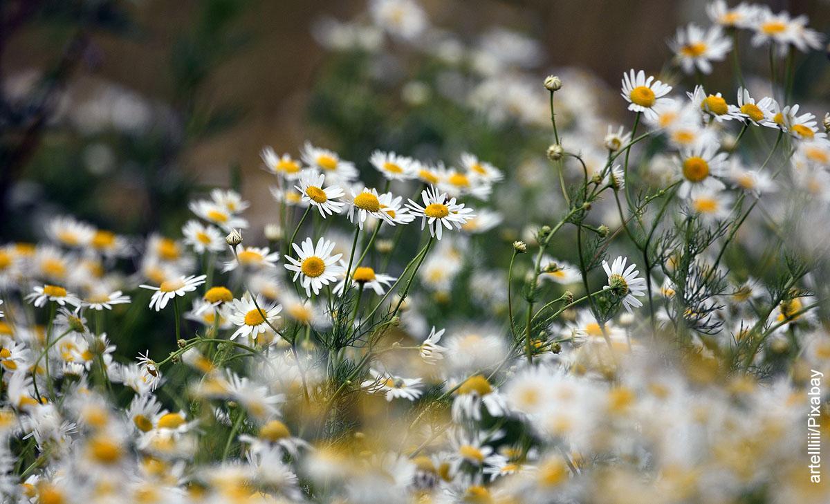 Foto de hierbas aromáticas que muestra cómo sembrar manzanilla