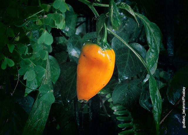 Foto de la hoja de una planta con un pimentón