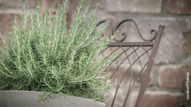 Foto de una maceta con romero sembrada en un patio