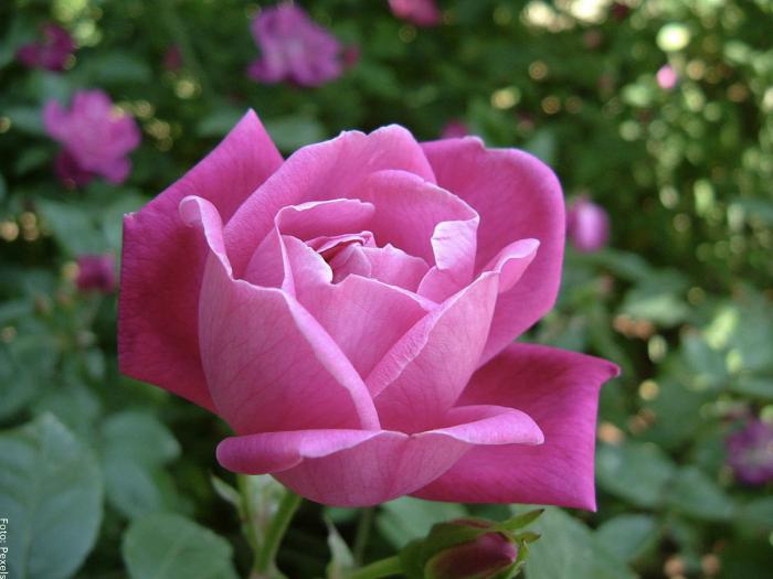 Foto de una rosa rosada