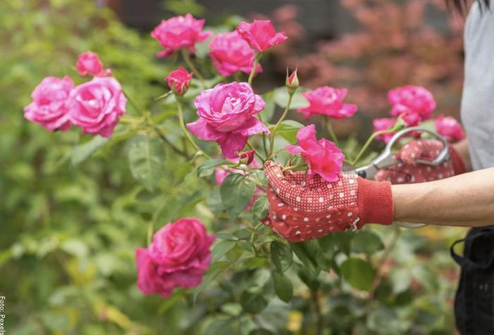Foto de un rosal en el jardín