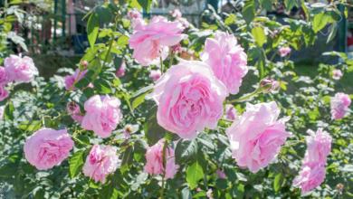 Cómo sembrar rosas y tener un hermoso jardín