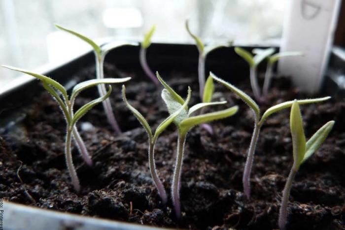 Foto de los primeros tallos de tomate