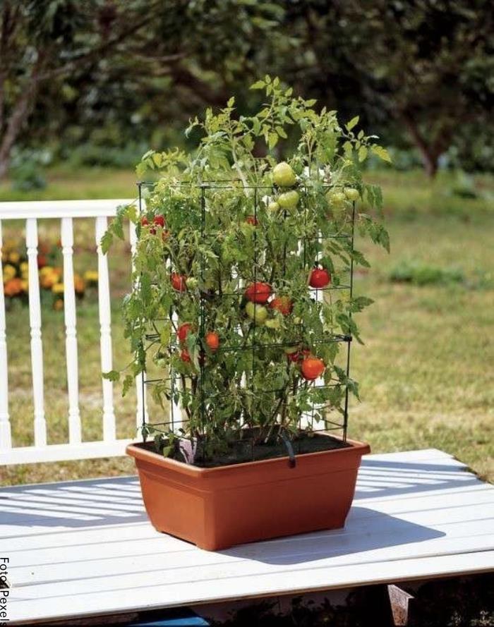 Foto del tomate en macetas