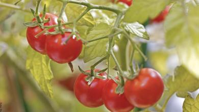 Cómo sembrar tomate y no fallar en el intento