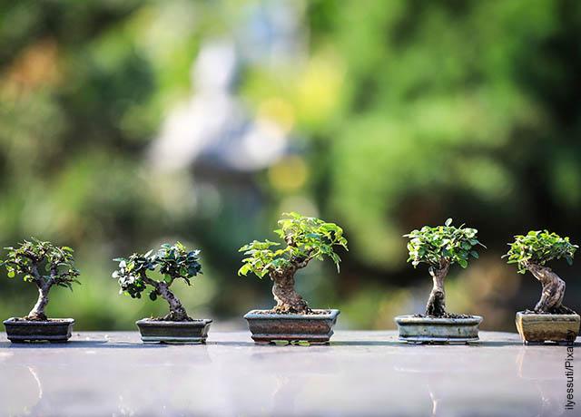 Foto de varios bonsáis sobre una mesa