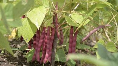 Cómo sembrar un frijol y disfrutar de la cosecha
