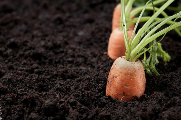 Foto de unas zanahorias sembradas en tierra