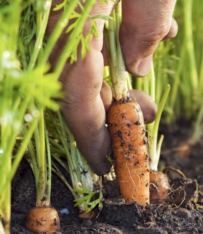 Foto de una mano sacando zanahorias de la tierra