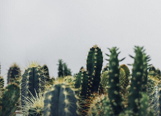 Foto de las espinas de unos cactus