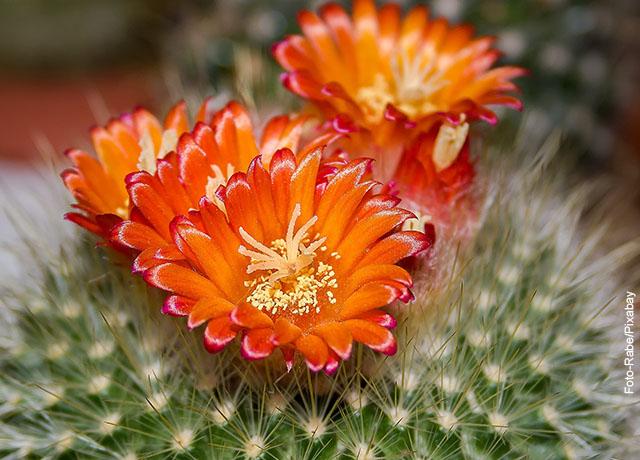 Foto de flores naranjas sobre espinas de un cactus