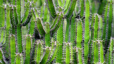 Foto de muchas plantas que ilustran qué adaptaciones tienen los cactus