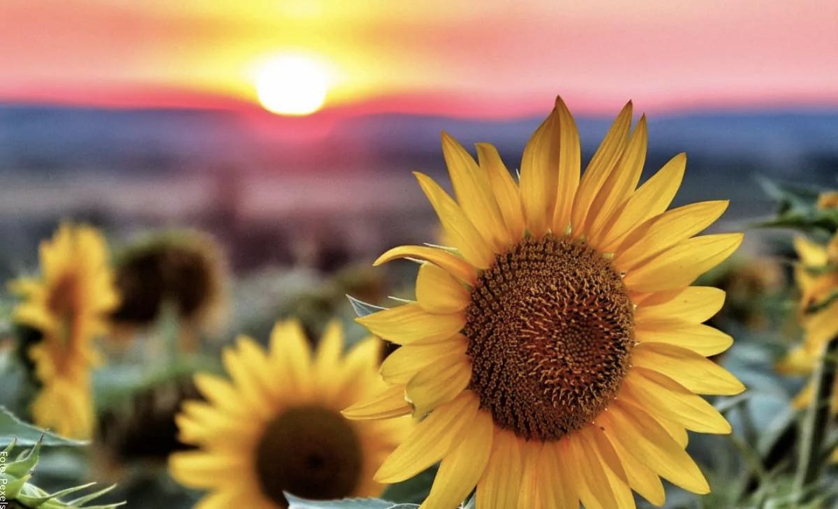 Significado de los girasoles, ¡historia de una hermosa flor!