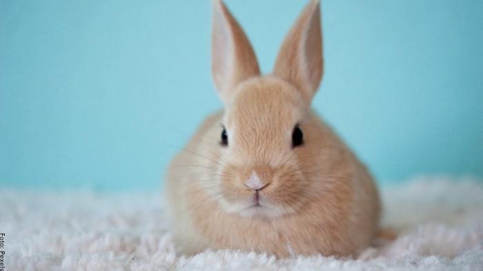 Foto de un solo conejo café